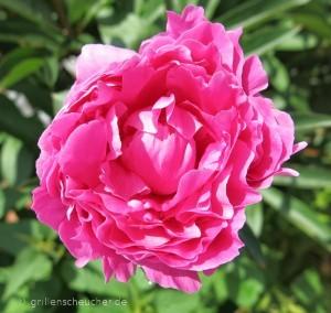 165_Pfingstrosenblüte
