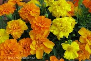 202_Tagetes_Blüten_gefüllt