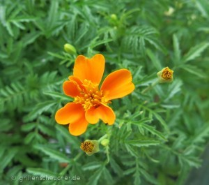 203_Tagetes_Blüte