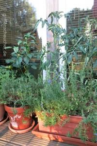 Tomaten_am_Fenster
