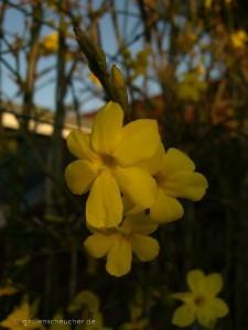 Winterjasmin-Blüte