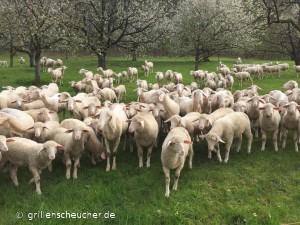 Schafe_und_Kirschblüten