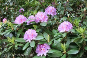 122_Rhododendron