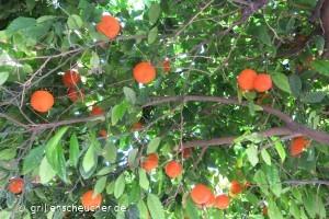 40_Orangenbaum