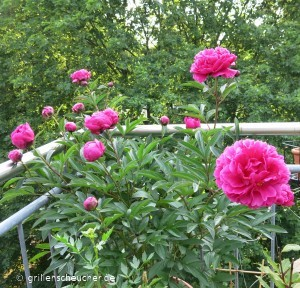 135_Pfingstrosenblüten