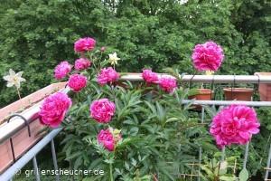 149_Pfingstrosenblüten