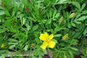 181_Tagetesblüte