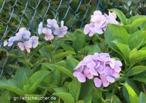 13_lila_Blüten
