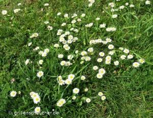 37_Gänseblümchen