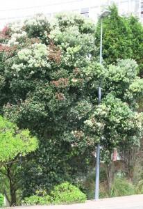 56_blühende_Bäume