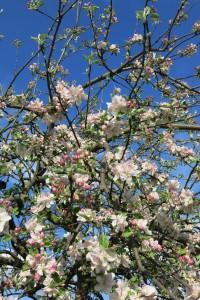 61_Kirschblüte