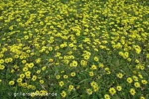 68_gelbe_Blumen