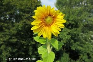 234_Sonnenblume_Blüte