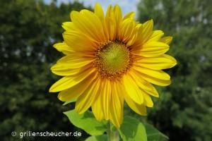 235_Sonnenblume_Blüte